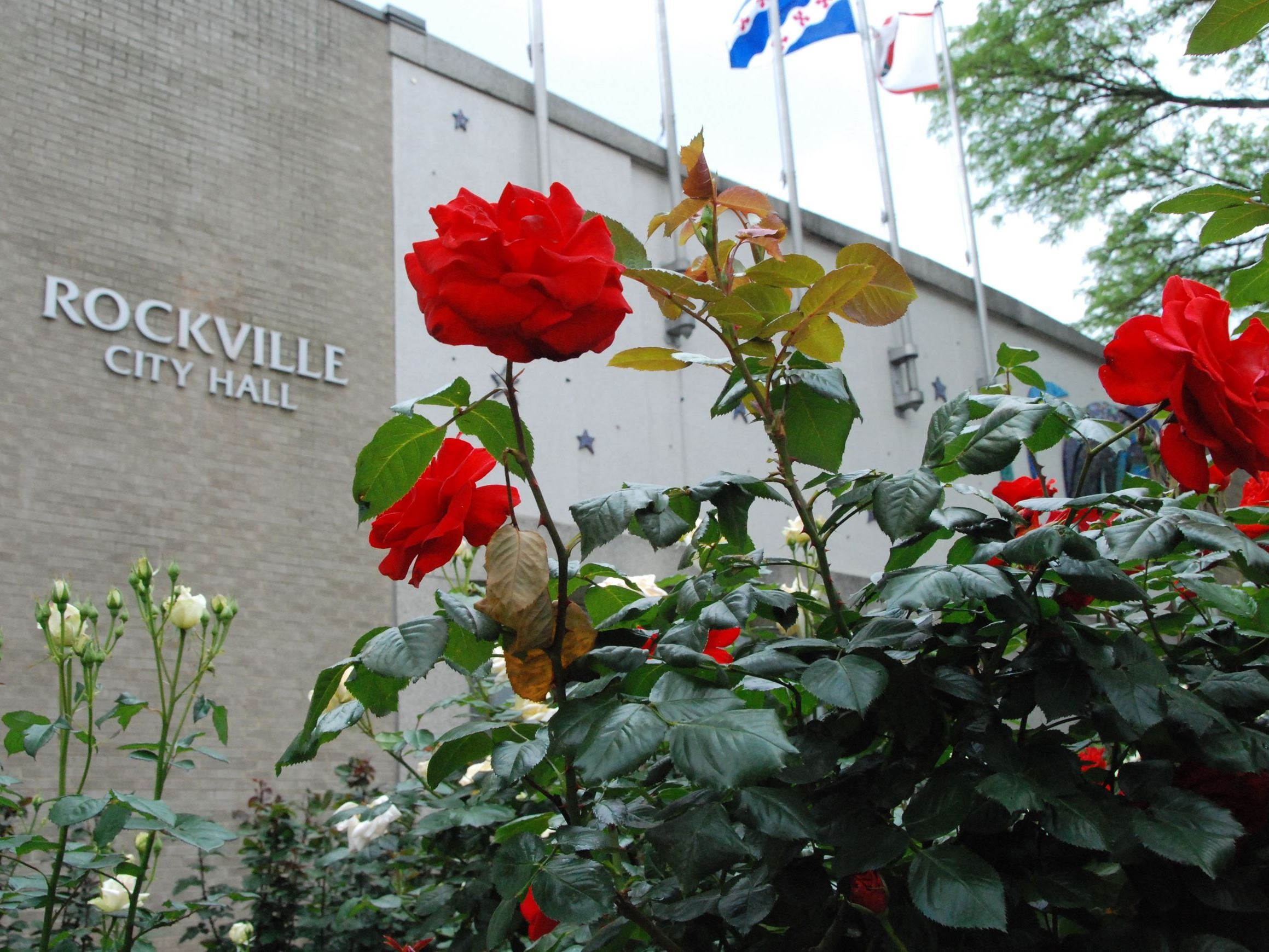 Front of City Hall with red roses in the forefront